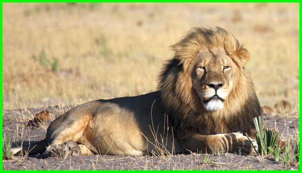 arti hewan singa, singa adalah hewan pemakan, deskripsi hewan singa bahasa, manfaat hewan singa bagi manusia, filosofi hewan singa, fakta hewan singa, fungsi hewan singa, identifikasi hewan singa, klasifikasi hewan singa karakter hewan singa, keterangan hewan singa