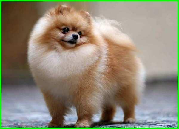 cara agar bulu anjing lebat dan sehat