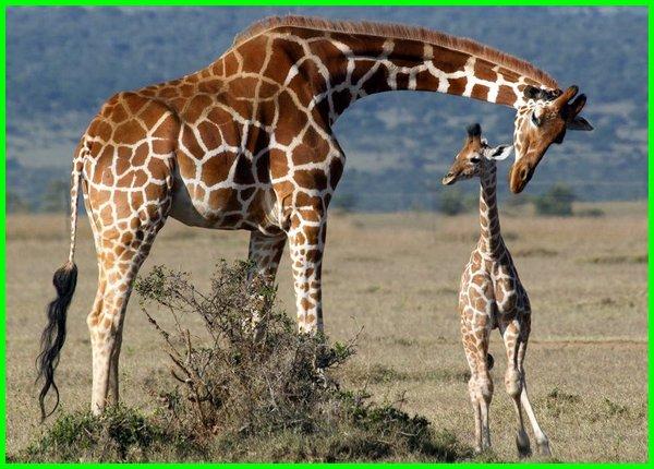 hewan khas afrika yang sering muncul di acara tv, hewan khas afrika adalah, fauna khas afrika, binatang khas afrika adalah, hewan khas benua afrika adalah, fauna khas benua afrika adalah