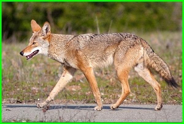 hewan khas amerika, hewan dari amerika, hewan endemik amerika selatan, hewan khas amerika serikat, hewan di amerika selatan, hewan amerika utara, hewan khas amerika adalah