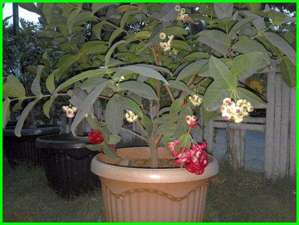 pohon buah di halaman, jenis tanaman buah di halaman rumah, tanam pokok buah di halaman rumah, pohon buah peneduh halaman rumah, tanaman buah yang bisa ditanam di halaman rumah, tanaman buah untuk halaman rumah, tanaman buah yang cocok di halaman rumah