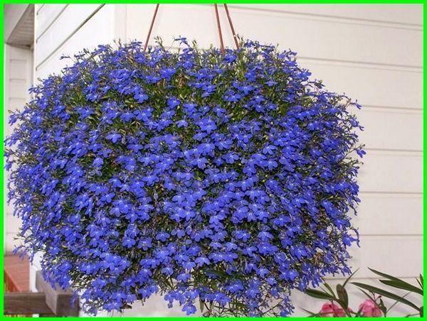 tanaman hias gantung tahan panas, tanaman hias gantung daun ungu, jenis tanaman hias gantung warna biru, jenis tanaman hias gantung daun, jenis2 tanaman hias gantung, tanaman hias gantung kribo, katalog tanaman hias gantung