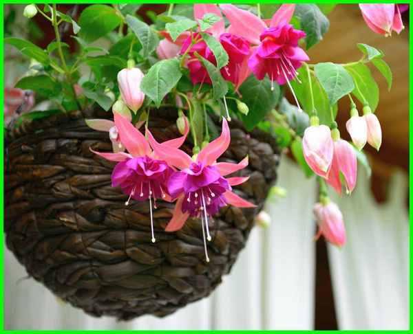 tanaman hias gantung cantik, ciri tanaman hias gantung, tanaman hias gantung depan rumah, tanaman hias gantung di indonesia, tanaman hias gantung fuchsia, foto tanaman hias gantung, nama tanaman hias gantung dan gambarnya, jenis tanaman hias gantung dan harganya, tanaman hias gantung yang indah