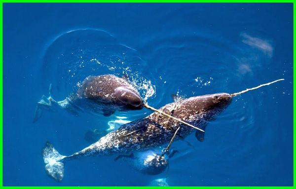 narwhals are real, narwhals animal, narwhals anatomy, narwhals adaptation, narwhals are mammals, narwhals are endangered, a narwhals diet