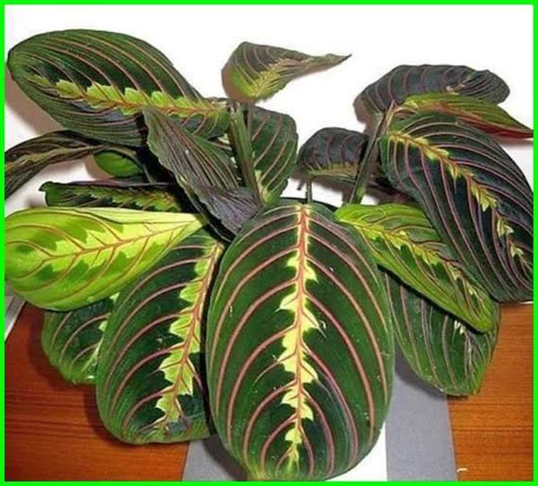 tanaman hias tanpa matahari, tanaman tanpa matahari langsung, tanaman tanpa sinar matahari, tanaman indoor tanpa matahari, tanaman tanpa sinar matahari langsung