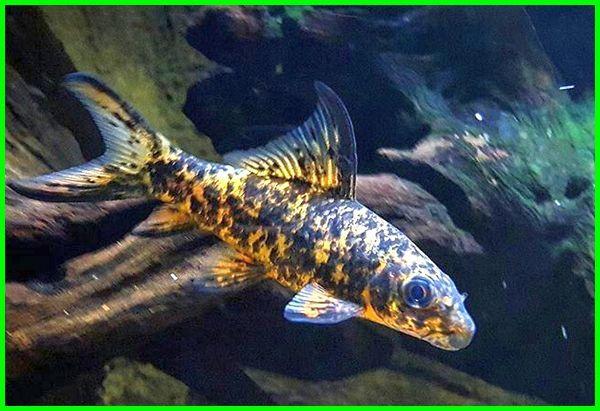 ikan hias air tawar mirip hiu, ikan hias air tawar seperti hiu, ikan hias mirip ikan hiu, ikan hias air tawar yang mirip hiu, macam macam ikan hiu hias, ikan hias hiu black tip, ikan hiu tawar hias