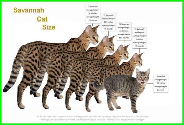 kucing savannah harga, kucing savannah f1, kucing savannah f1 f2 f3, artikel kucing savannah, harga kucing savannah f1, harga kucing savannah di indonesia, gambar kucing savannah, kucing jenis savannah, keunggulan kucing savannah, kelebihan kucing savannah, kucing ras savannah