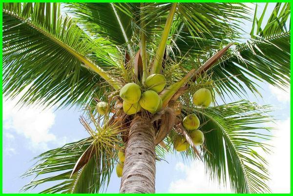 apakah kelapa termasuk buah, kelapa termasuk buah atau sayur, kelapa termasuk buah atau biji, fakta manfaat pohon kelapa, fakta unik tentang pohon kelapa, fakta pokok kelapa, fakta sari kelapa, fakta unik tentang kelapa, fakta wow kelapa