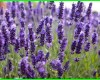 info tentang lavender, info tanaman lavender, info tentang bunga lavender, lavender info, info on lavender plants, doterra lavender info, info about lavender, info about lavender plants, info on english lavender, info on lavender, lavender tree info