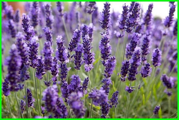info tentang lavender, info tanaman lavender, info tentang bunga lavender, lavender info, info on lavender plants, doterra lavender info, info about lavender, info about lavender plants, info on english lavender, info on lavender, lavender tree info
