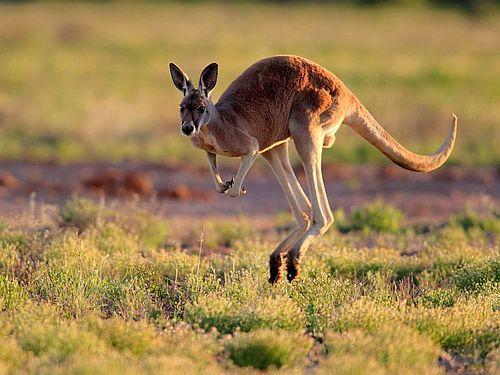 Gambar Kanguru