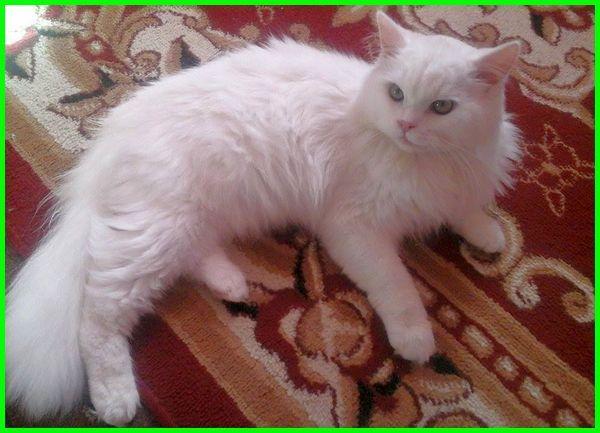 kucing pèrsia, makanan kucing persia, kucing persia asli, jenis jenis kucing persia, jenis kucing persia medium, kucing persia mix kampung, umur kucing persia