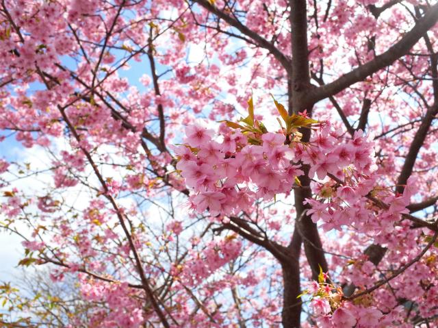春の到来! お花見で愛と美しさを手に入れる<br>〜ピンクは愛の色。女性ホルモンにも◎の河津桜