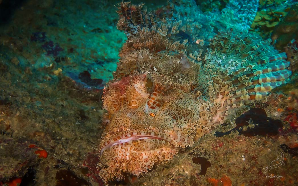 Poss's Scorpionfish in South Miniloc