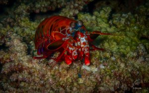 Red lined Mantis shrimp in North Rock