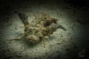 Spiny scorpion fish in Paradise beach