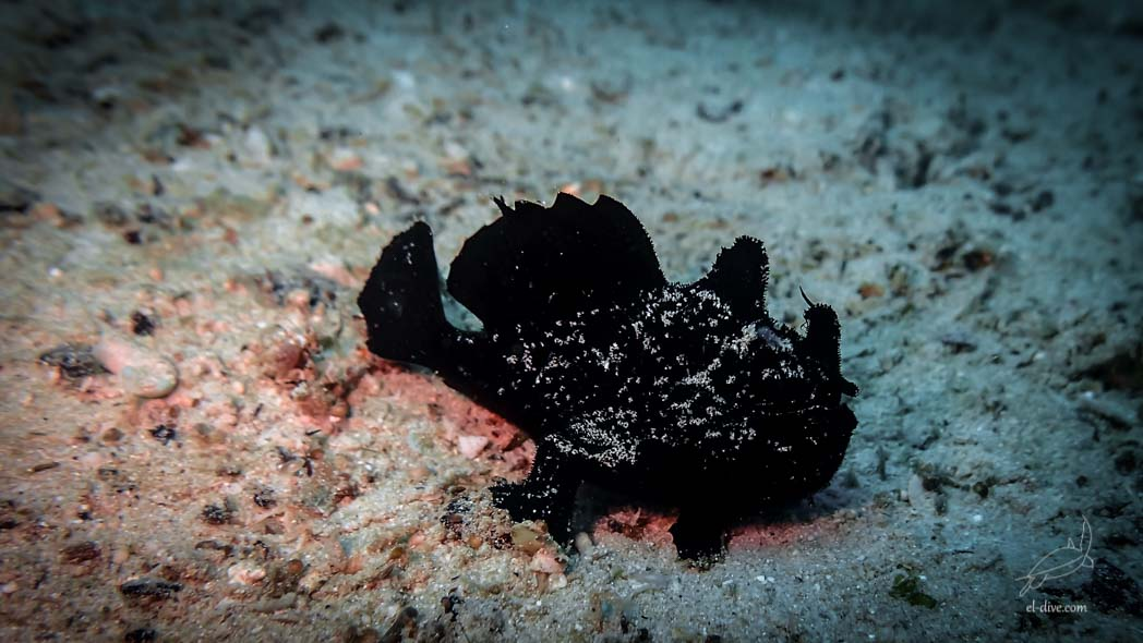 El Dive Black painted frogfish in Paradise beach