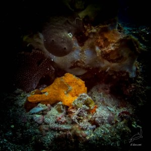 Orange painted frogfish in South Miniloc