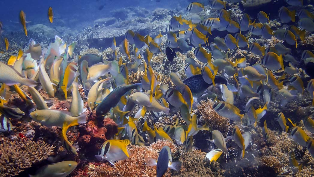 Shoal of rabbitfish and parrotfish in South West Entalula island