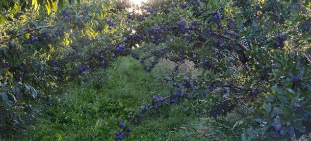 italian plums 0814