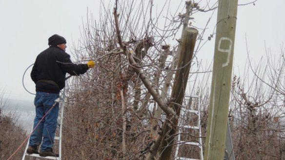 pruning III 0115