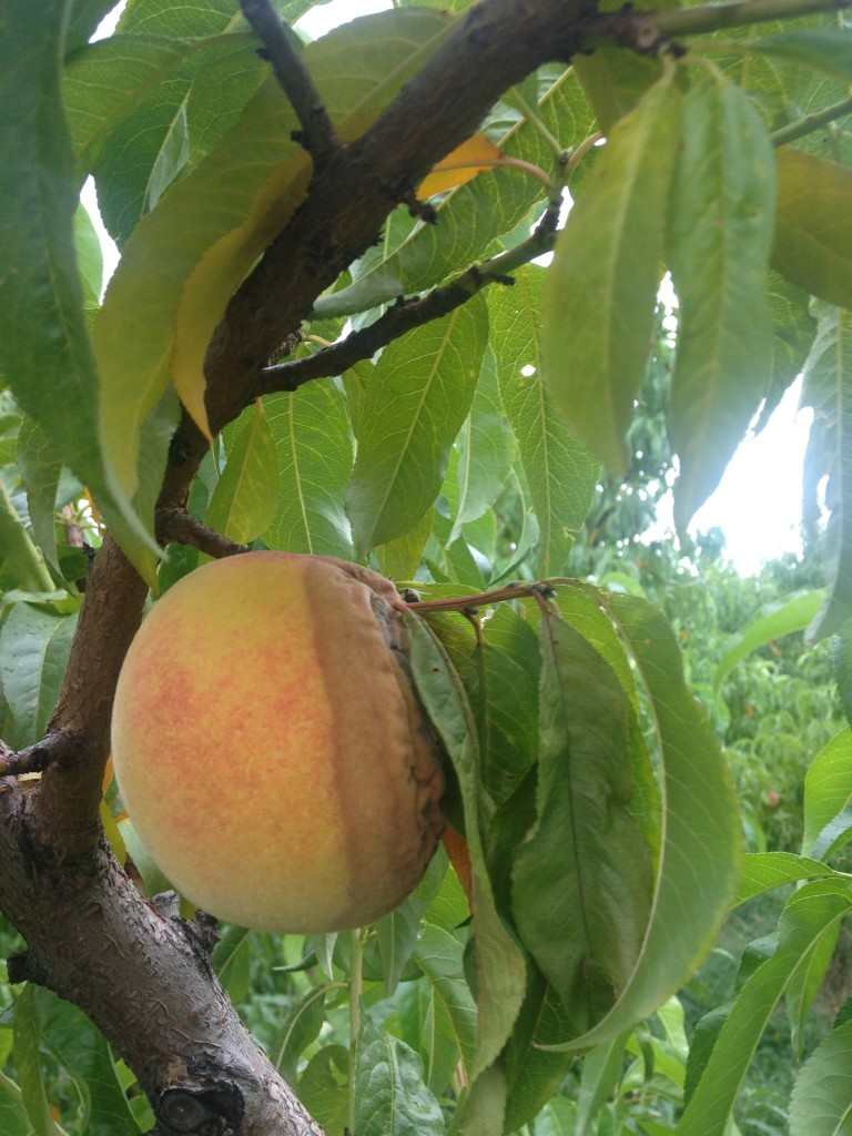 Brown rot on peaches