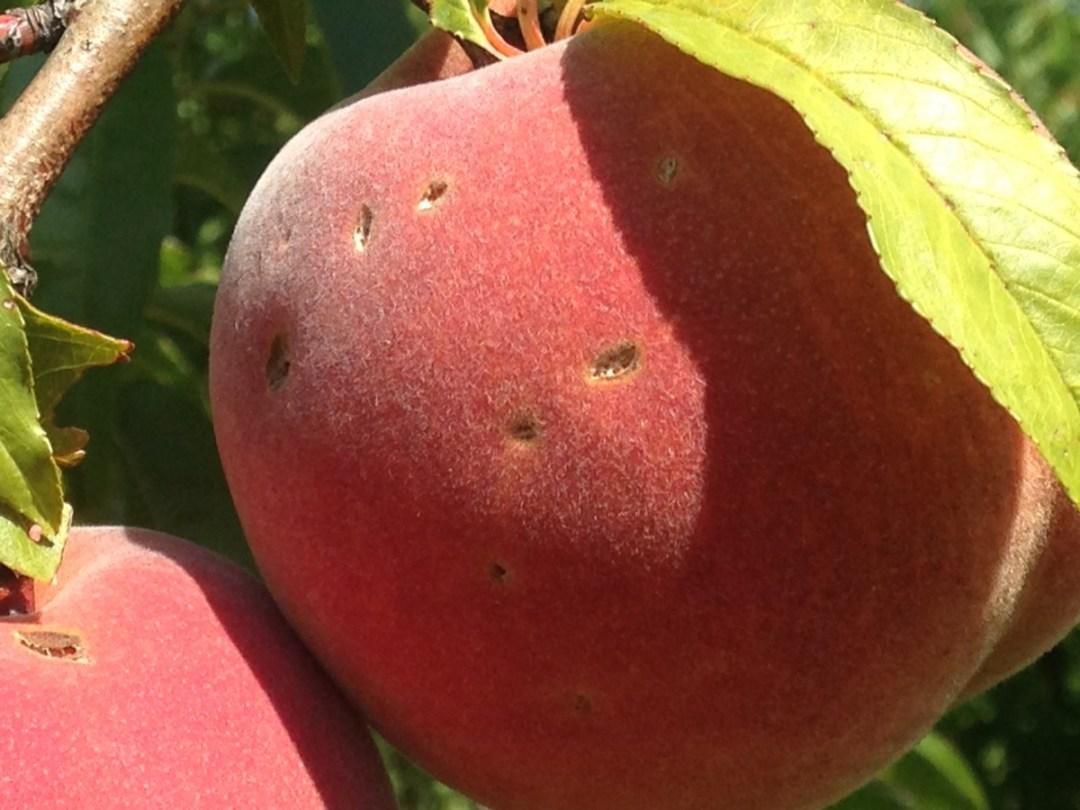 Peach hail damage 150824