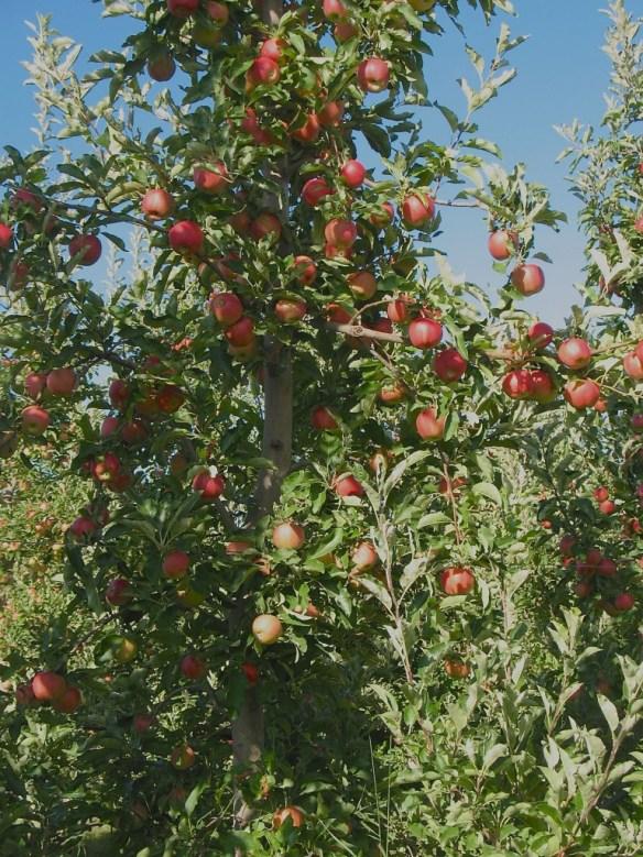 Gala apple tree1