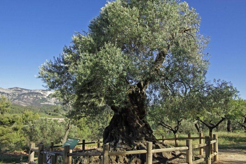 ¿Acabará el expolio de nuestros olivos monumentales?