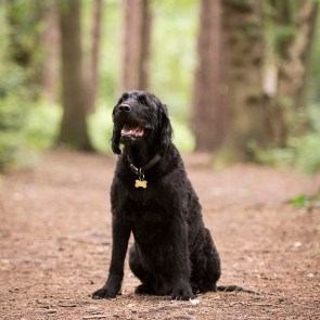 Portuguese Water Dog065