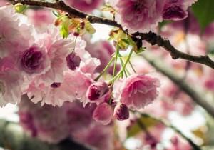 Sakura_carmenMb