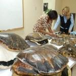 Autoridades de Medio Ambiente advierten a población abstenerse de comprar artesanías de concha de carey