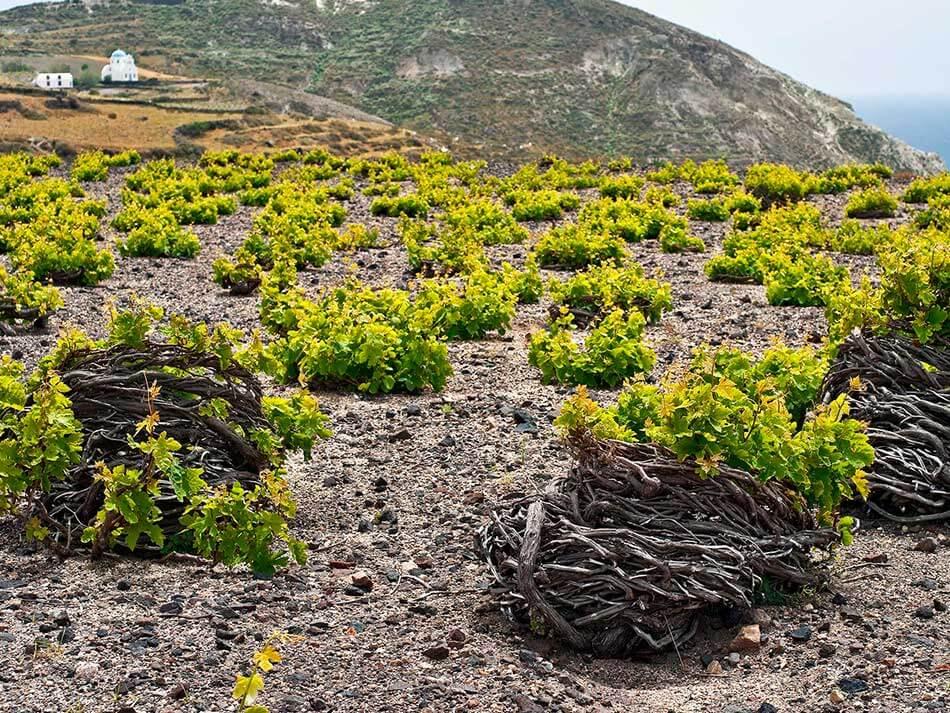 Viñedos de Santorini
