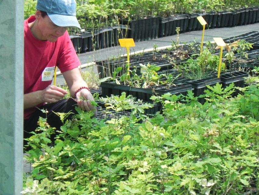 Ciuden vivero trabaja en un programa de producci n de for Produccion de viveros