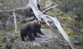 Imagen de un oso pardo en Laciana (Fundación Oso Pardo)