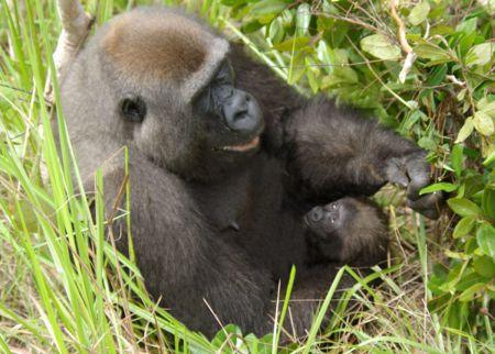 gorila2 - Mamás-animales. Ellas sí que saben