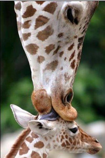 jirafa - Mamás-animales. Ellas sí que saben
