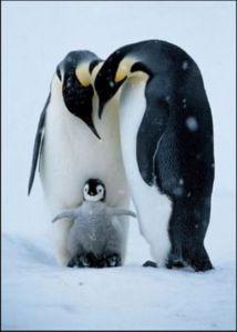 pinguinos - pinguinos