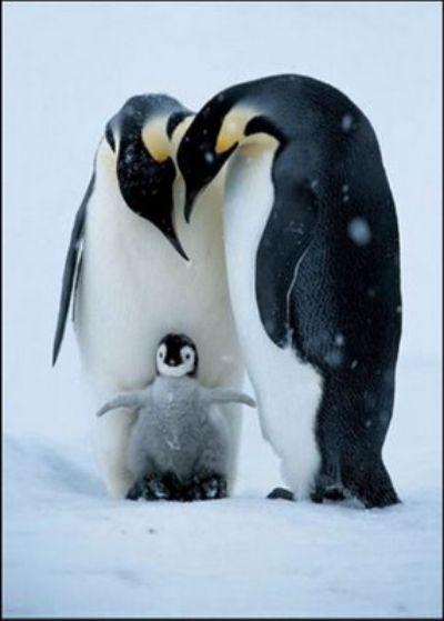 pinguinos - Mamás-animales. Ellas sí que saben