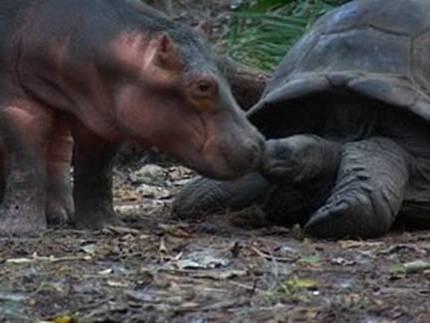 hipo2 - hipopótamo y tortuga