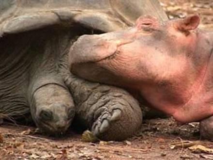 hipo3 - hipopótamo y tortuga