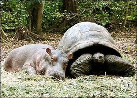 hipopótamo y tortuga
