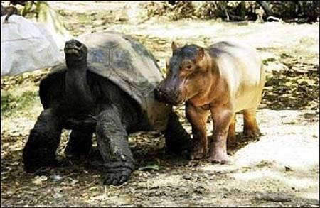 hipo5 - hipopótamo y tortuga