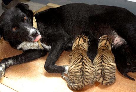 lactancia animal3 - lactancia entre especies