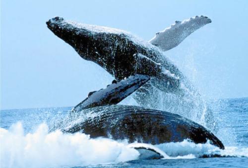 ballenas jorobadas ritual1 - ballenas