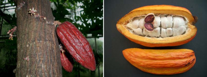 cacao - cacao