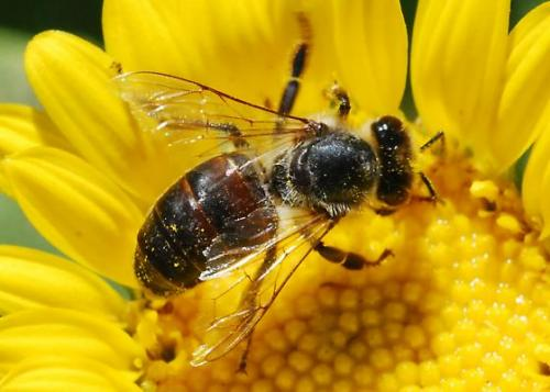 abeja1 - abejas