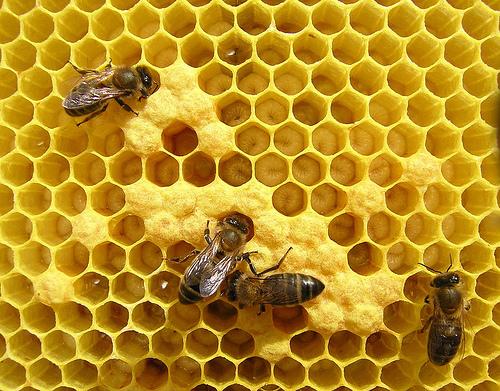 abejas2 - abejas apicultura