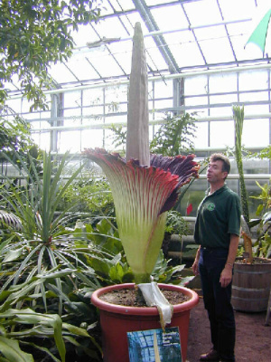 a titanum invernadero 2 - Flores espectaculares y gigantescas