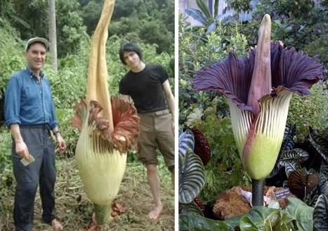 a titanum - Flores espectaculares y gigantescas